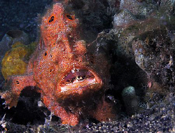 Frogfish, Lembeh by Doug Anderson 